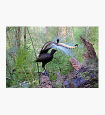The king of Songbirds and the duke of dancers. Photographic Print