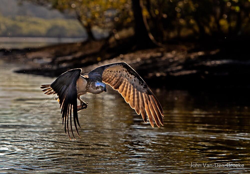 Osprey 456 by John Van-Den-Broeke