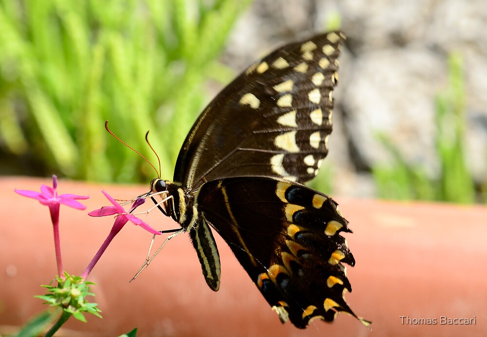 Brown Butterfly by TJ Baccari Photography