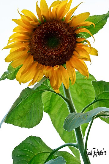 Sunflower in Bloom by Carol F. Austin