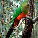 Young female King Parrot by Ern Mainka