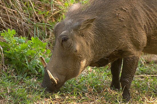 Warthog browsing for food by Ian Mitchell