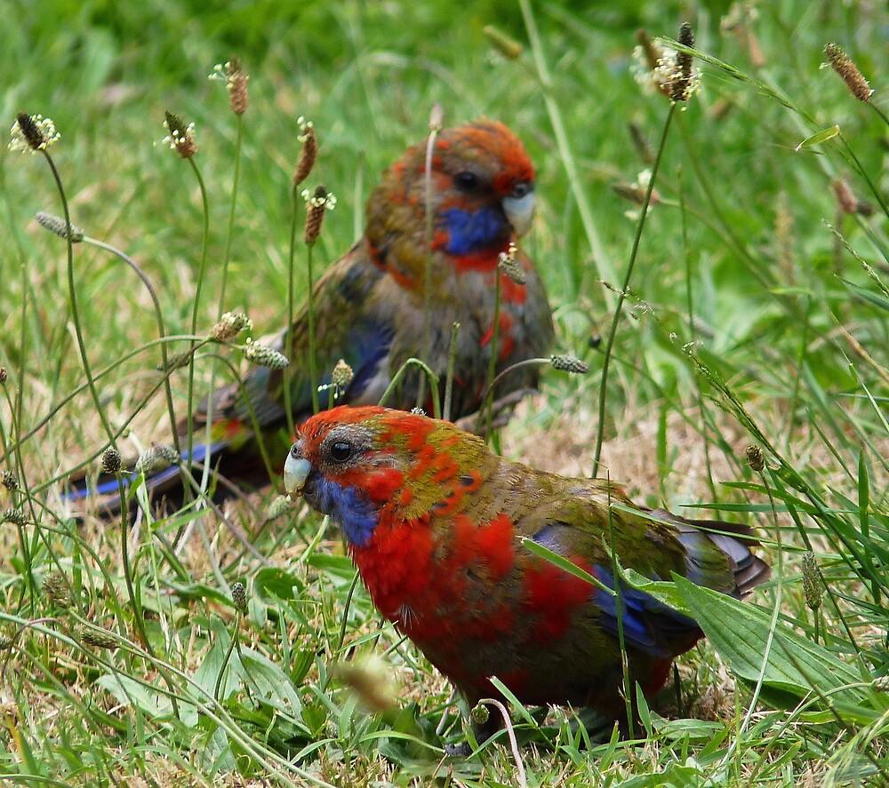 Juvenile Crimson Rosellas (Fledgling No. 1) by Meg Hart