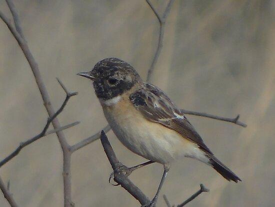 Vanishing sparrow by RAHUL  PANDIT