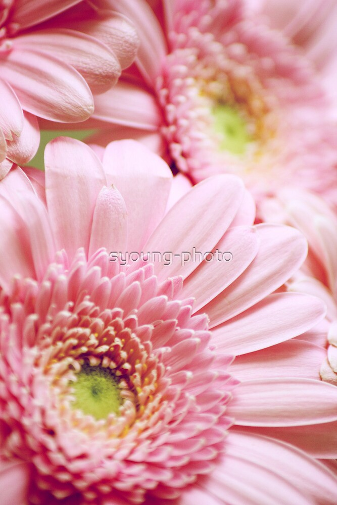 Pink Gerbera  by syoung-photo