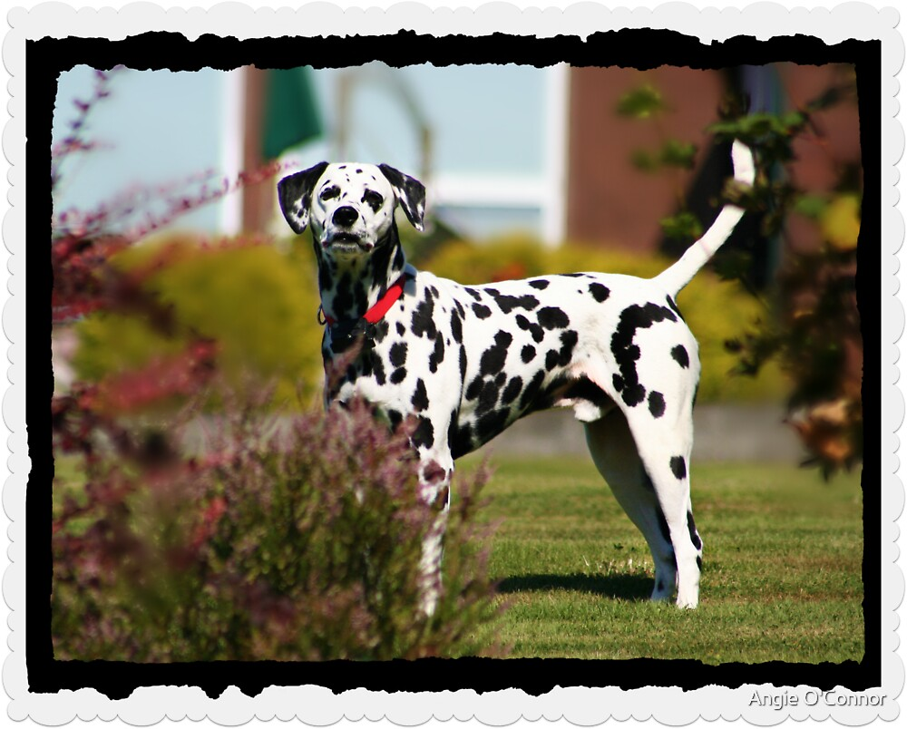 One Dalmation by Angie O'Connor