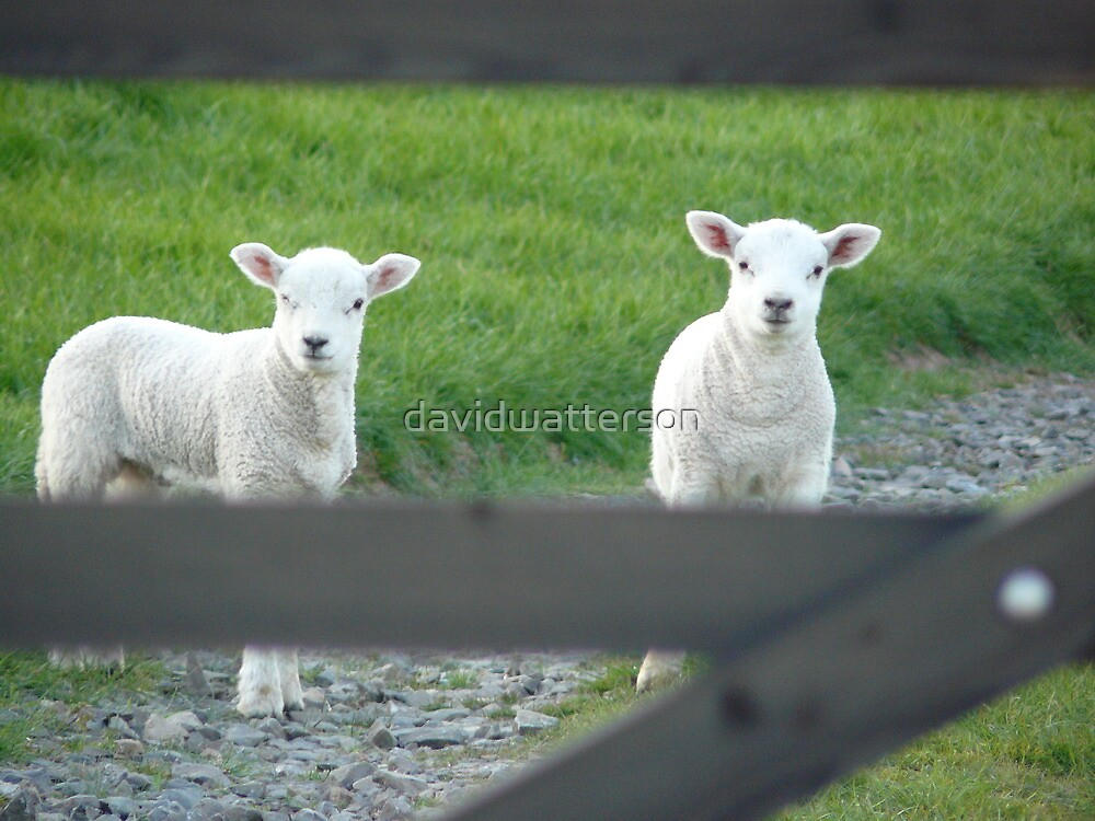 A pair of inquisitive lambs by davidwatterson