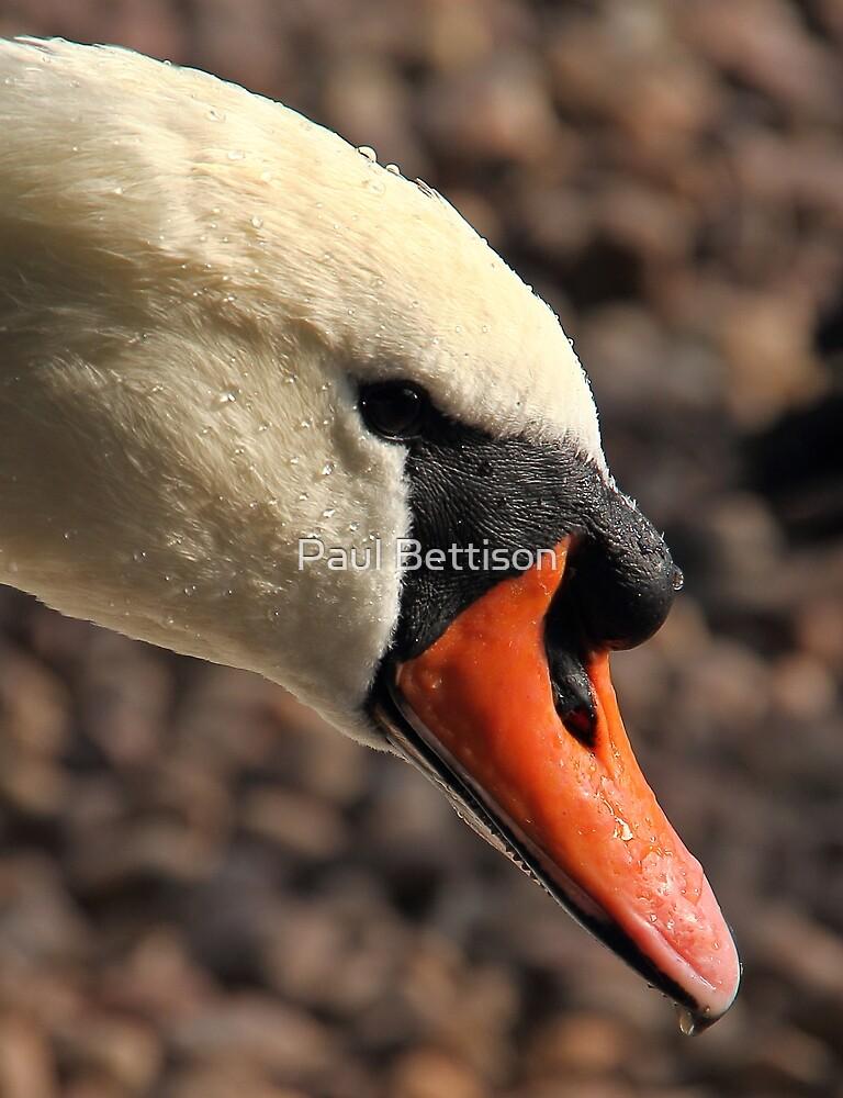 Swan Portrait by Paul Bettison