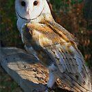 Barn Owl by Chet  King