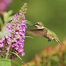 Another Hummingbird!! by cherylc1