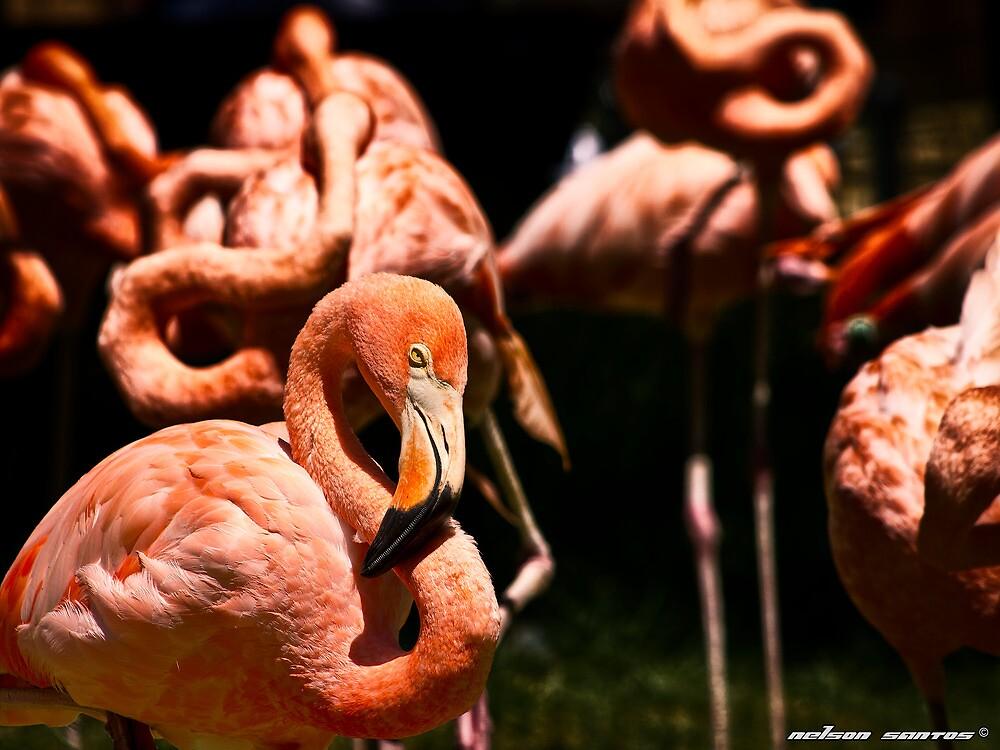 American Flamingo I by NSantos