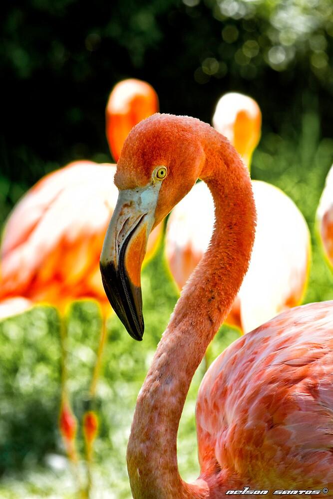 American Flamingo II by NSantos