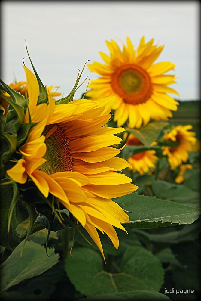Sunflowers by jodi payne