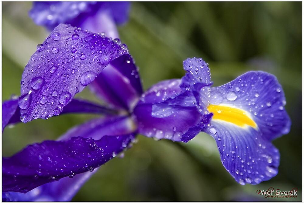 Blue flower with water drops (macro) by Wolf Sverak