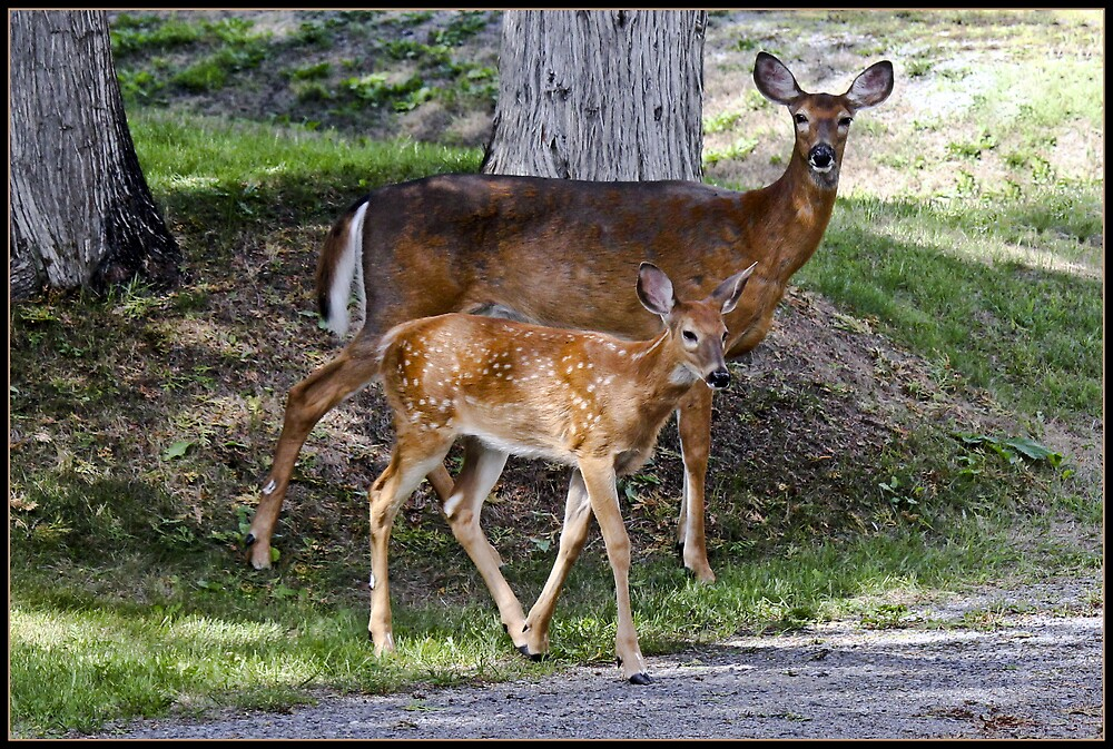 Doe and Fawn by Brian104