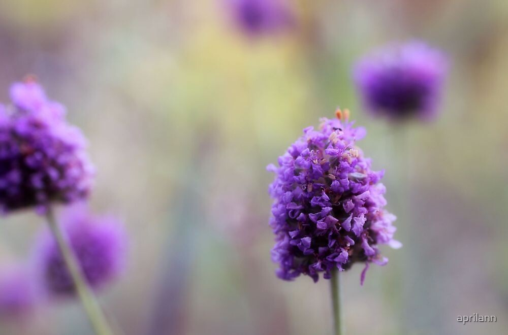 You Look Lovely in Lavender by aprilann