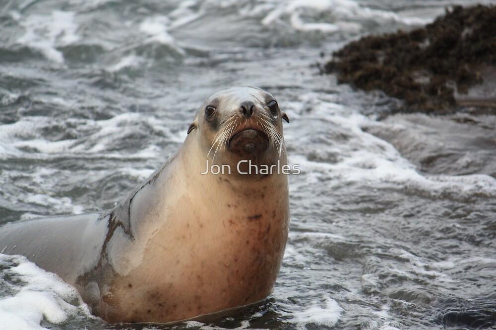 Curio Bay Seal  by Jon Charles