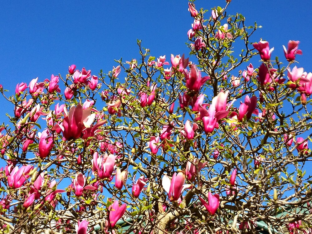 magnolia shout by jayview