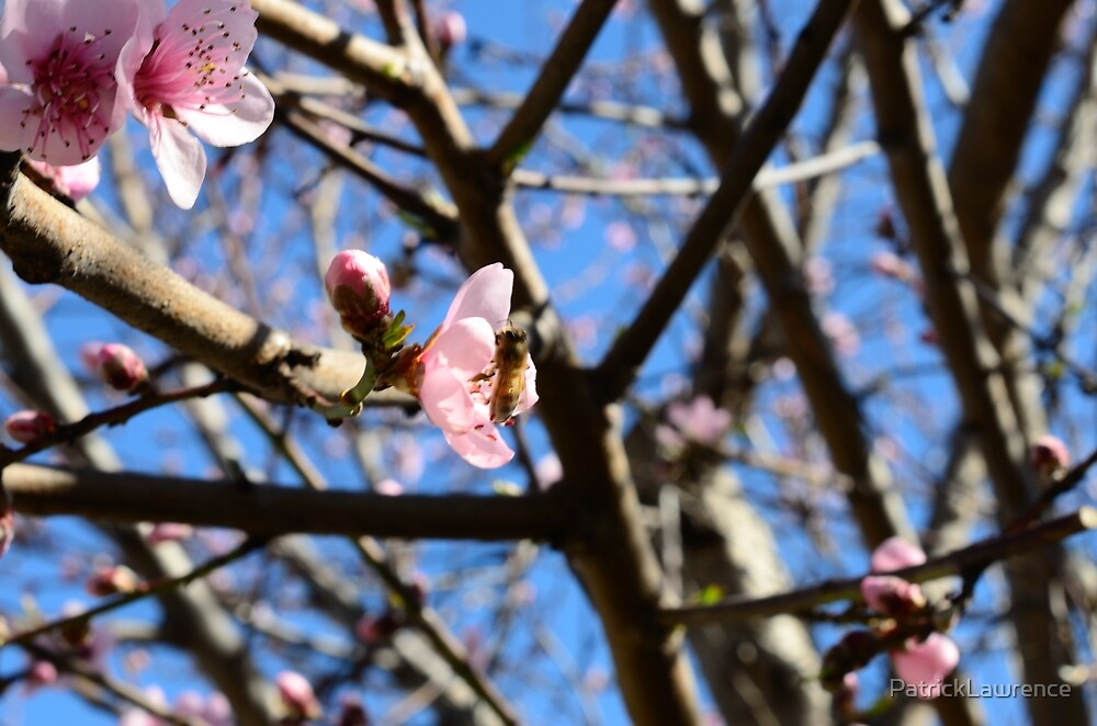 Bee Pollinating Nectarine Blossum by PatrickLawrence