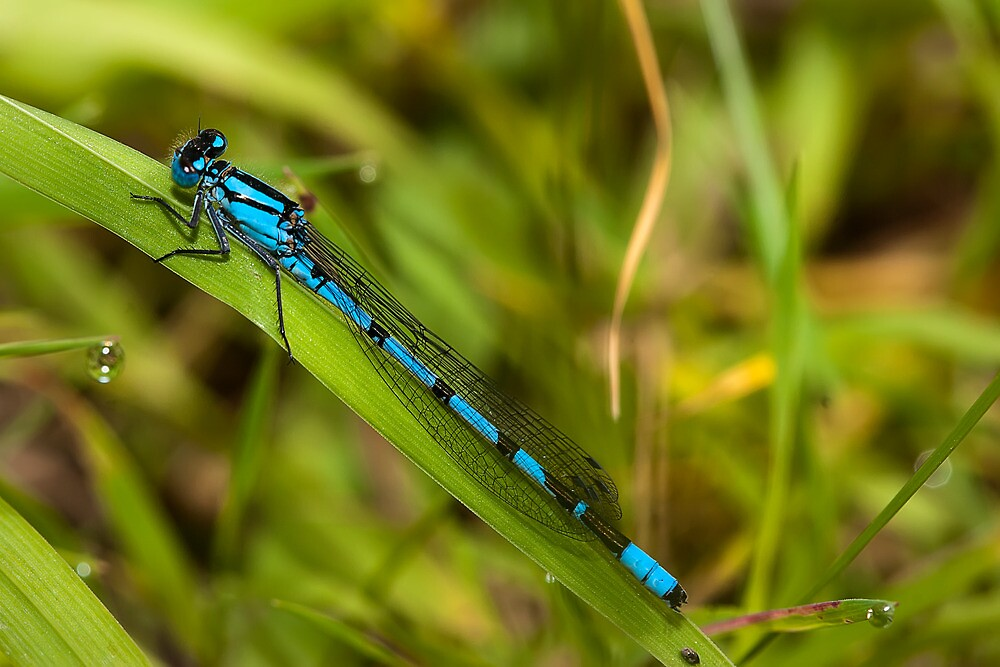 Common Blue Damselfly by Ashley Beolens