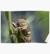 Golden cicada Poster