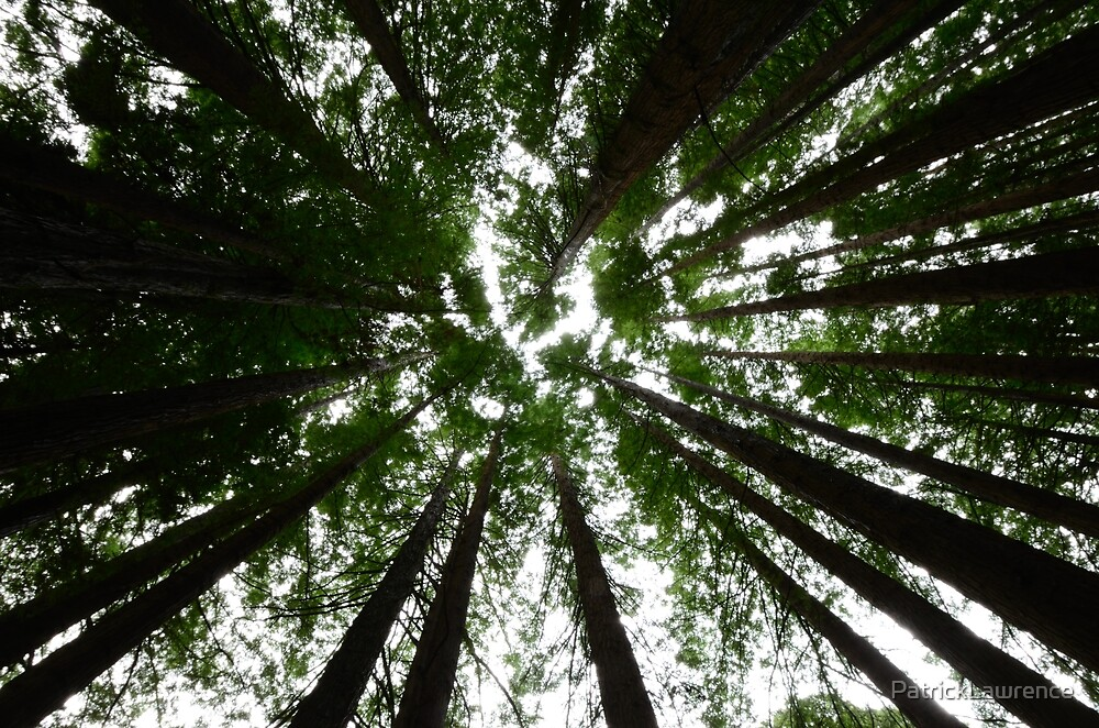 Redwood Canopy by PatrickLawrence