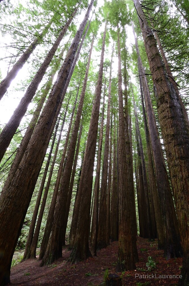 The Redwoods by PatrickLawrence