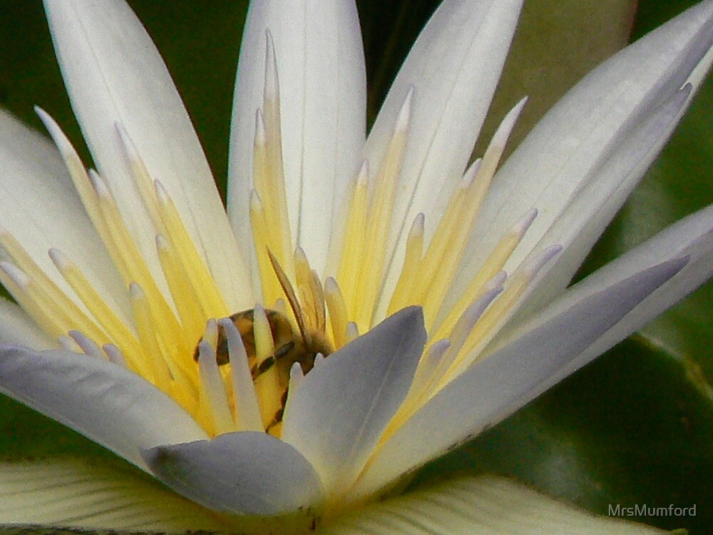 Bee in a Lily by MrsMumford