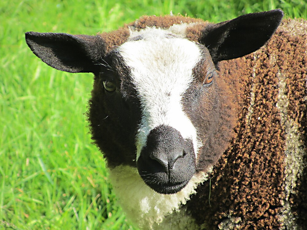 Portrait of a sheep by cheryfayre