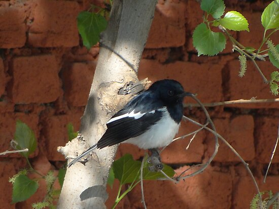 Magpie Robin Male by RAHUL  PANDIT