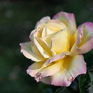 Peace Rose by Karen E Camilleri