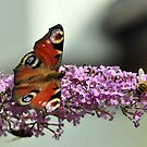 Peacock Butterfly and hoverfly by Russell Couch