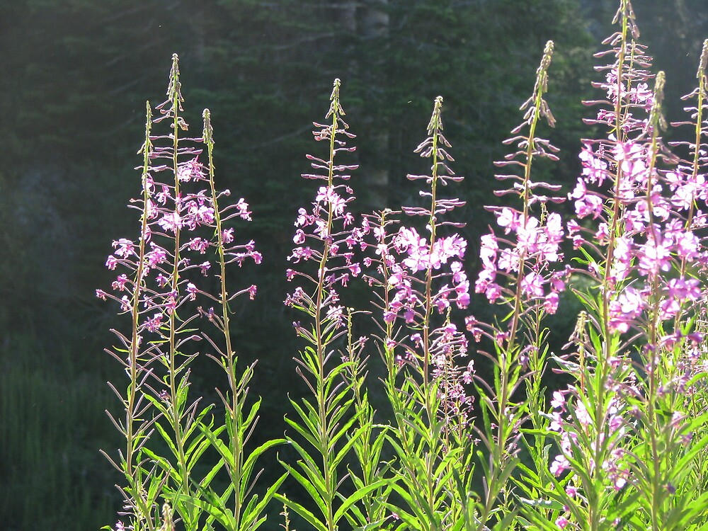 Fireweed Flowers by Chris Gudger