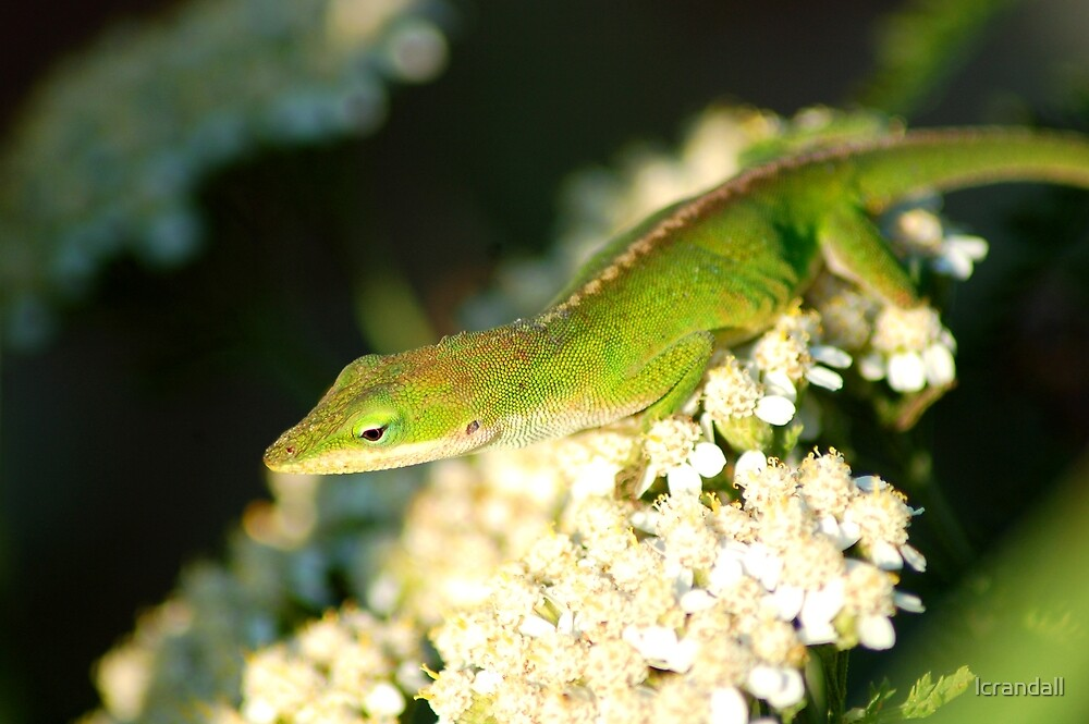 Green Anole by lcrandall