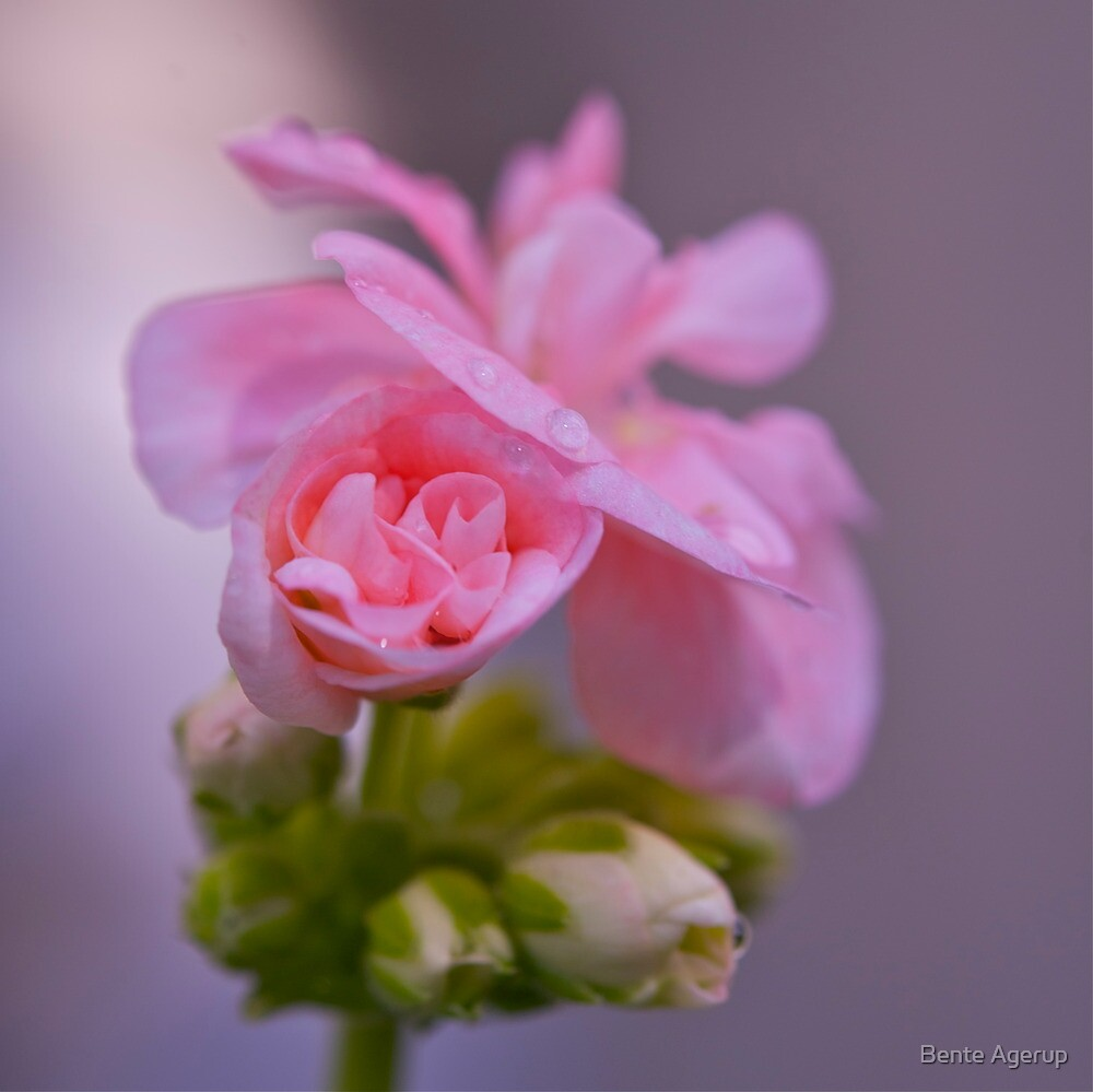 Pink beauty by Bente Agerup