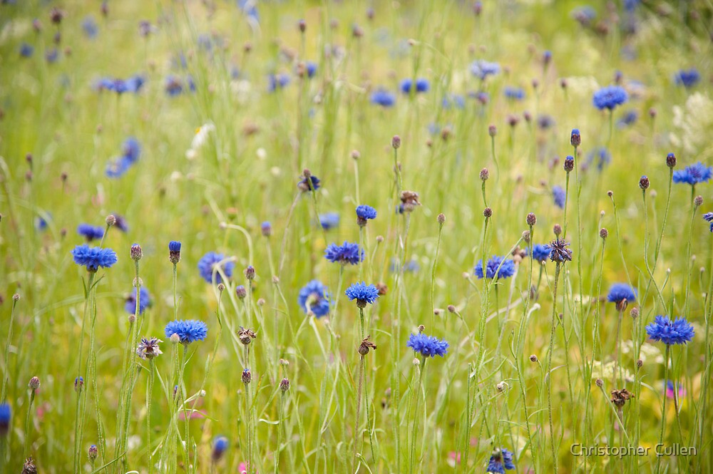 Eden project cornflower patch by Christopher Cullen