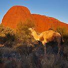 Kata Tjuta Camel by Bill  Robinson