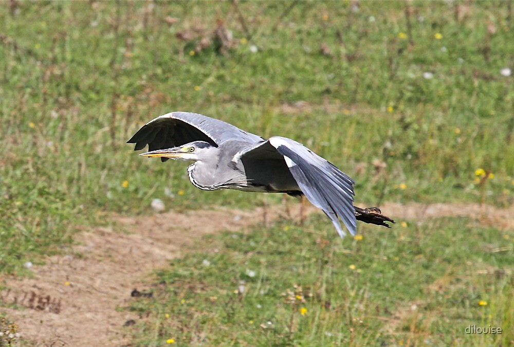 Low Flying Heron by dilouise