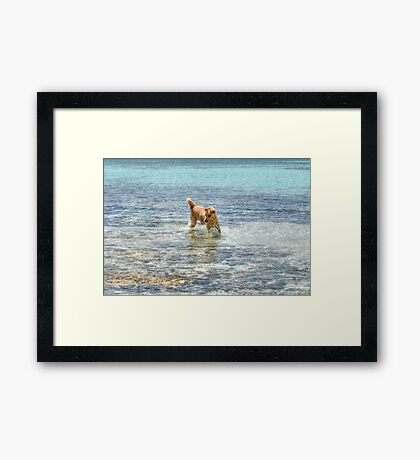 Dog playing in the Caribbean waters at Yamacraw Beach - Nassau, The Bahamas Framed Print