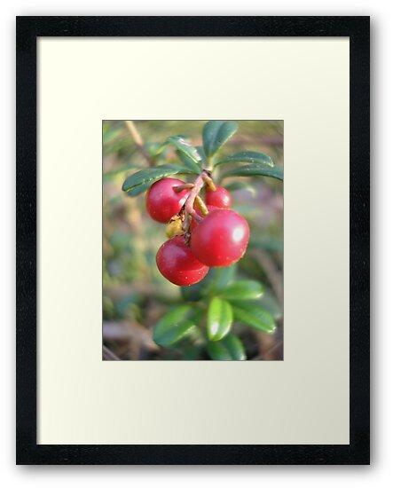 red bilberry by Yuri Zolotaryov