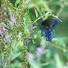 Butterfly Blue by Kay  G Larsen