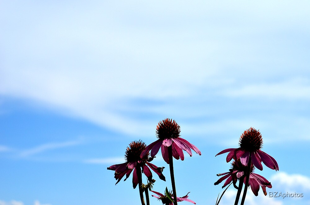 echinacea flower by BZAphotos