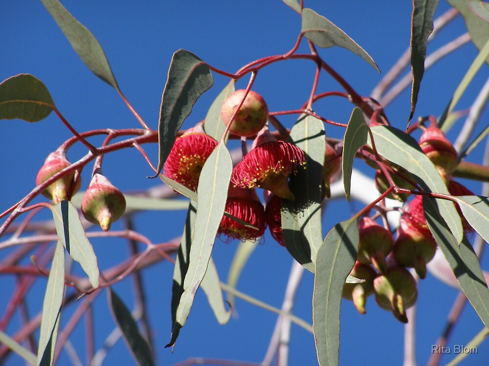 Stunning red Eucalyptus gum flowers _caesia_native, Adelaide hills, S.A. by Rita Blom