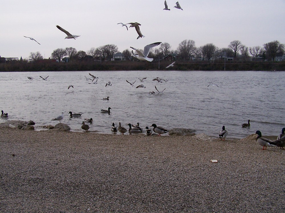 seagulls and geese in motion over river by akk96