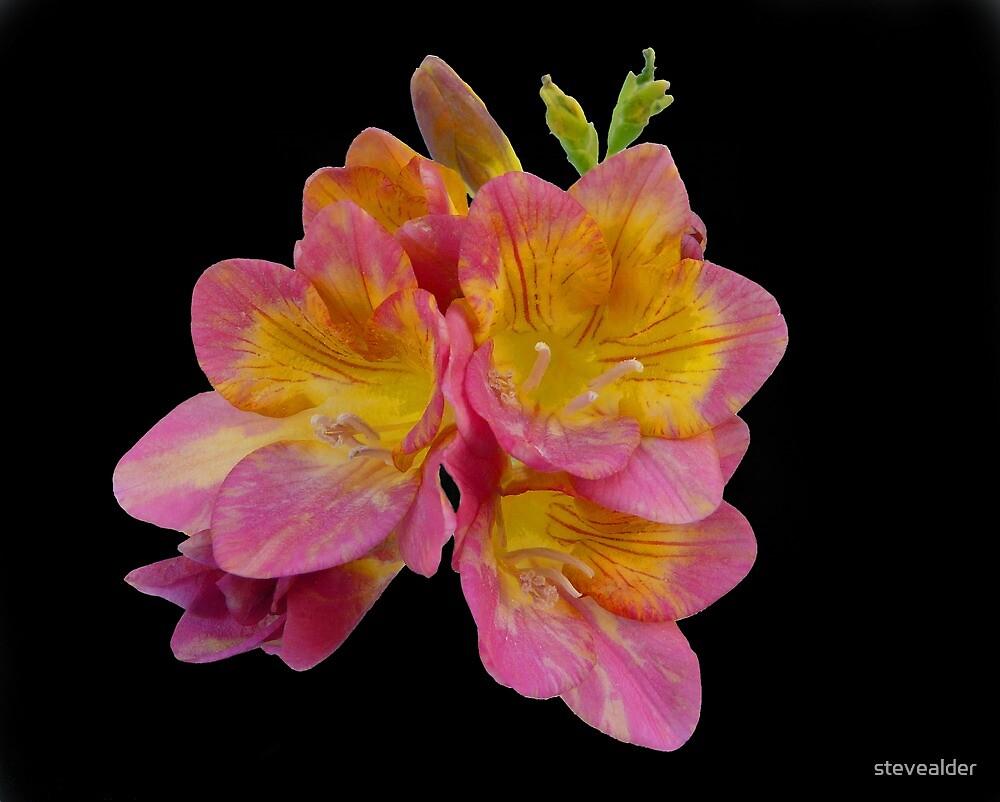 An Iris Flower by stevealder