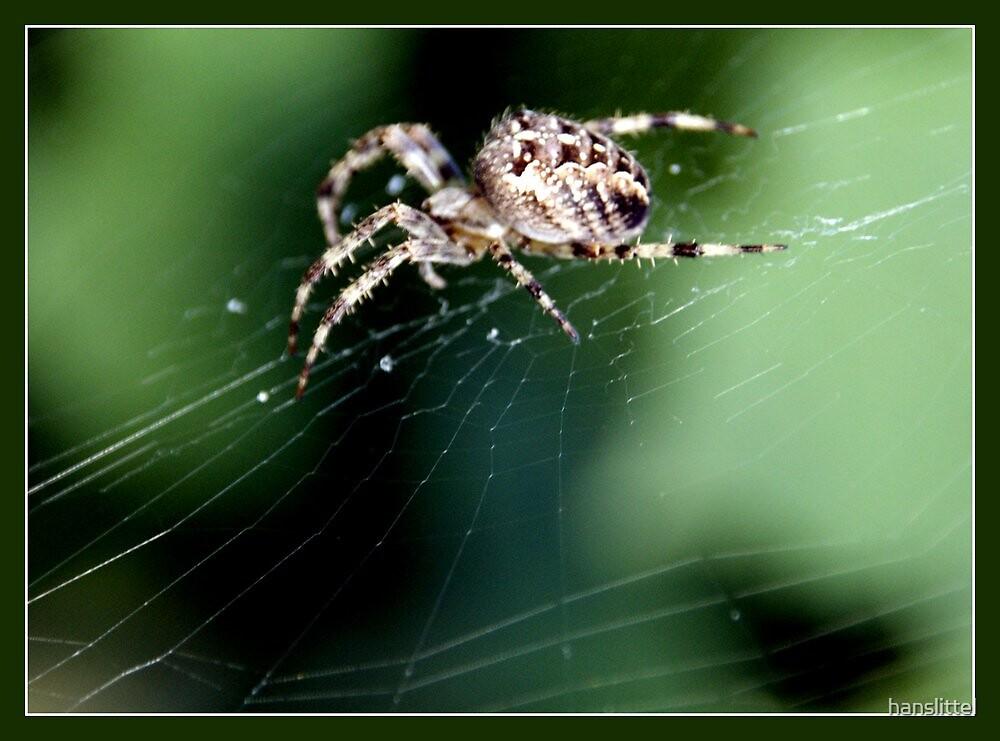 Cross spider  by hanslittel