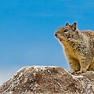 California Ground Squirrel, (Spermophilus beecheyi) by Eyal Nahmias