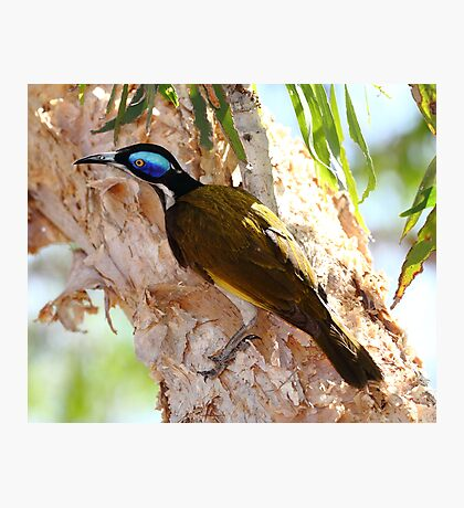 """Blue Faced Honey Eater"" Photographic Print"