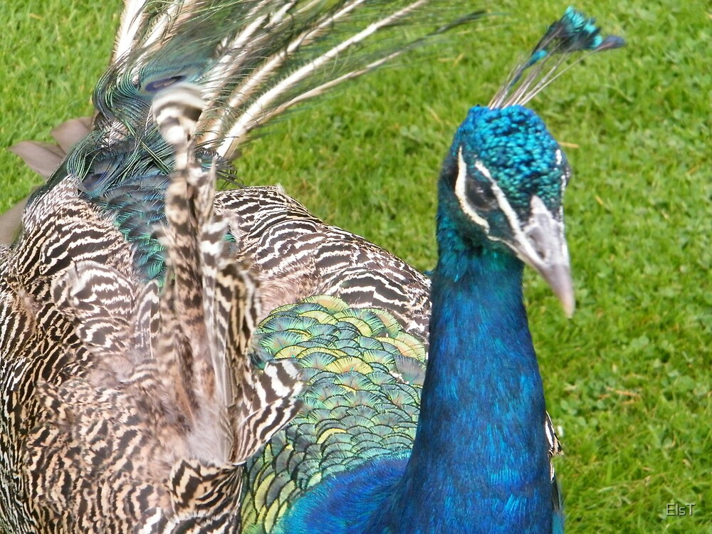 Look at my Feathers by ElsT