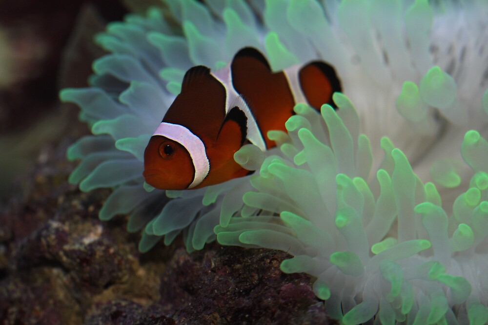 Clown Fish and Bubble Tipped Anemone by Keiran Bernstein